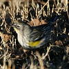Yellow Warbler Sacramento, CA