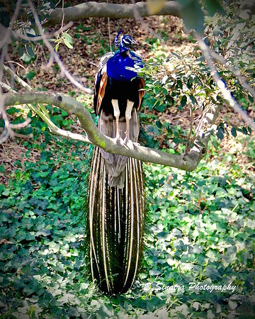 Indian peafowl tree