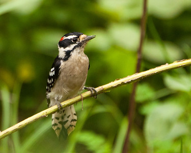 Woodpecker - Downy Woodpecker (m) 9508