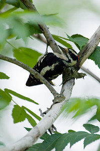 Woodpecker - Hairy Woodpecker C_4404