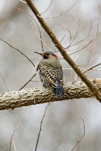 Woodpecker - Yellow Shafted Flicker 0303