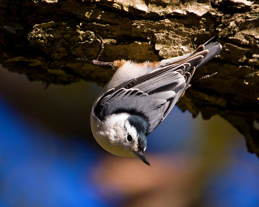 Nuthatch, Eastern White-Breasted - Inverted Pose D9823