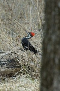 Woodpecker - Pileated Woodpecker (f) - 0180