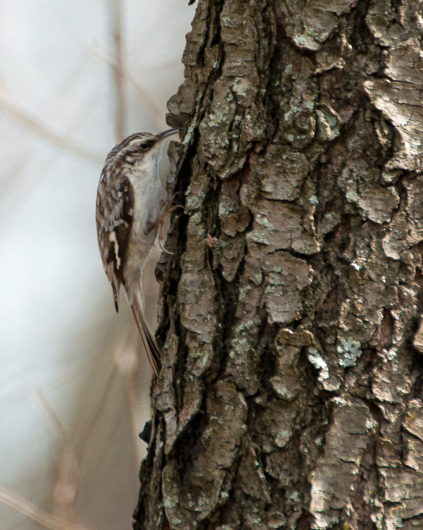 Brown Creeper - c6605