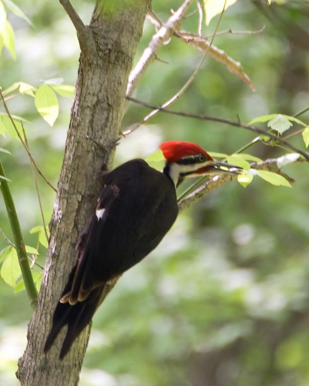 Woodpecker - Pileated Woodpecker (m) - 9942