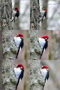 Woodpecker - Red Headed Woodpecker with injury