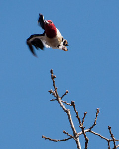 Woodpecker - Red Headed Woodpecker - Taking off from tree