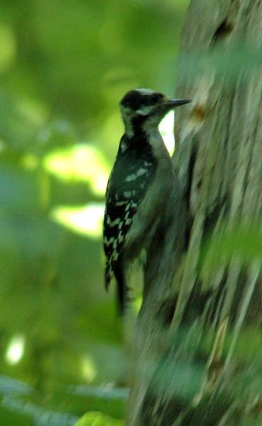 Woodpecker - Hairy Woodpecker 2787