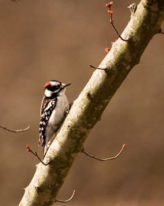Woodpecker - Downy Woodpecker & Buds