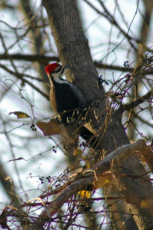 Woodpecker - Pileated Woodpecker (f) 3300 - Males have red mustache.