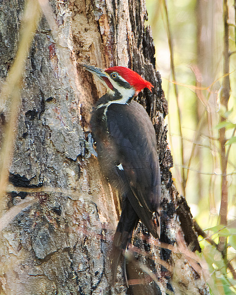 male Pileated X3674 with stick removed