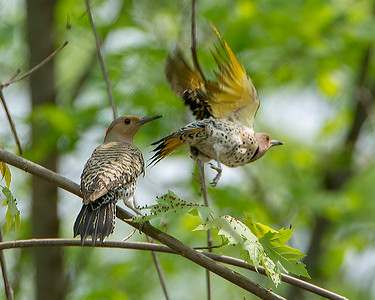 Yellow Shafted Flicker 7550-2 Pano