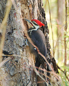 male Pileated X3674