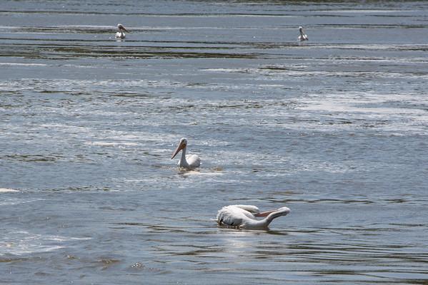 Pelicans 05112013