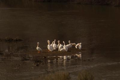 Pelicans, Boobies and Frigatebirds