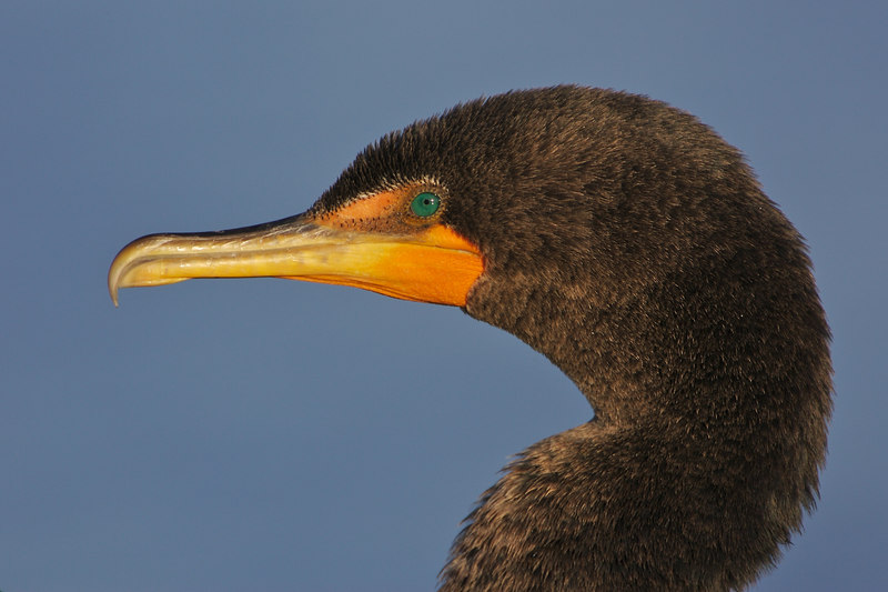 Double Crested Cormorant (headshot)