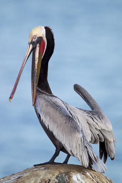 """Evil"" pelican"