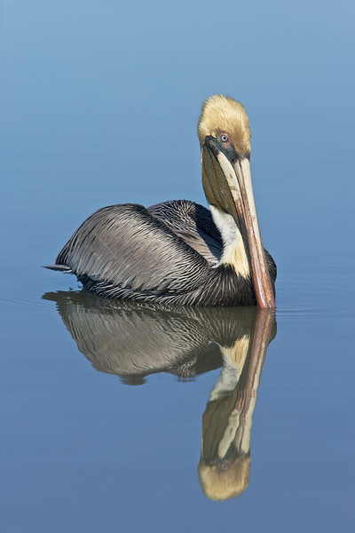 brown pelican in breeding plumage reflecting in the water