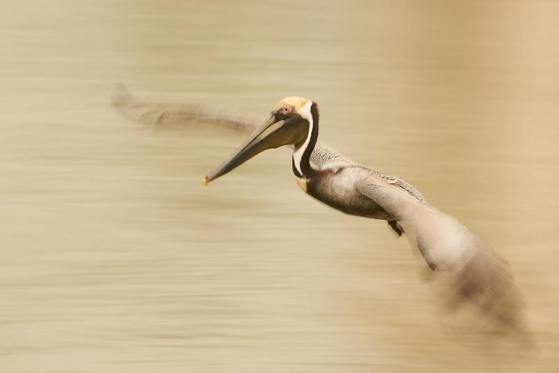 brown pelican blur