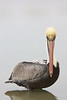 brown pelican staring