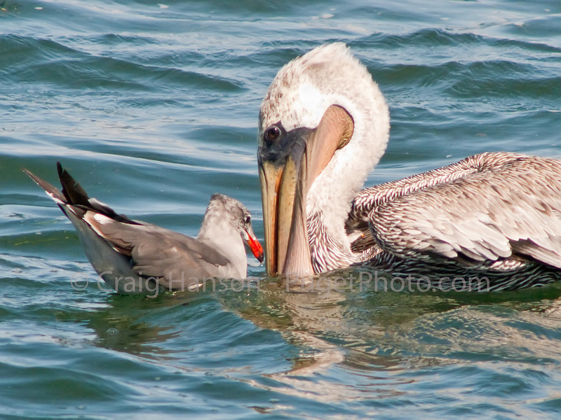 Brown Pelican (Pelecanus occidentalis), Heermann's Gull (Larus heermani)