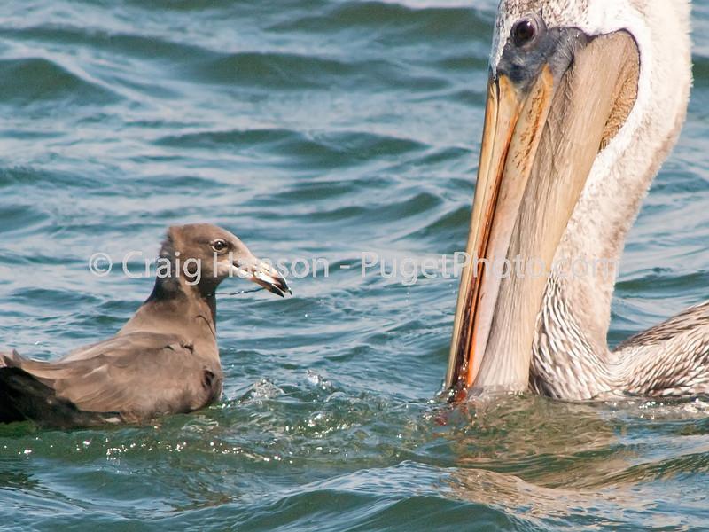 Brown Pelican (Pelecanus occidentalis), Heermann's Gull (Larus heermani)