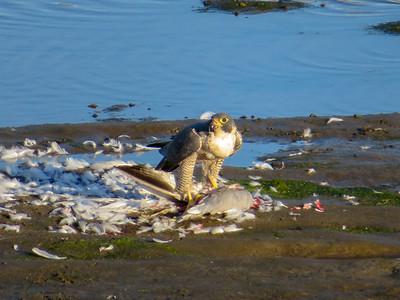 Peregrine Falcon February 3 2018