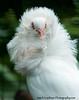 Fancy White Pigeon 11x14-7875