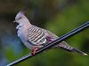 Crested Pigeon, Tara Ridge, Booyong