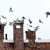 A flock of pigeons settle on top of a Main St. building in Fitchburg, Monday afternoon.<br /> SENTINEL & ENTERPRISE / BRETT CRAWFORD