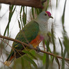 Rose-crowned Fruit Dove