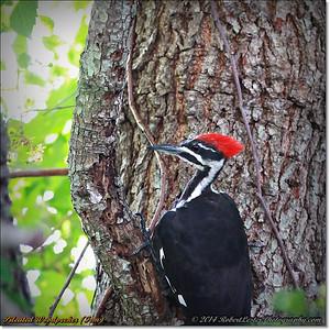 2014-06-20_IMG_3717_Pileated Woodpecker (Fem)_