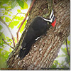 2014-06-20_IMG_3642_Pileated Woodpecker (Fem)_