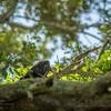 2019-09-13_ 0930 meterspotiso200 Pileated woodpecker_P9130055