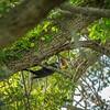 2019-09-13_ 0930 meterspotiso200 Pileated woodpecker_P9130032