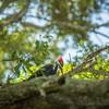 2019-09-13_ 0930 meterspotiso200 Pileated woodpecker_P9130059