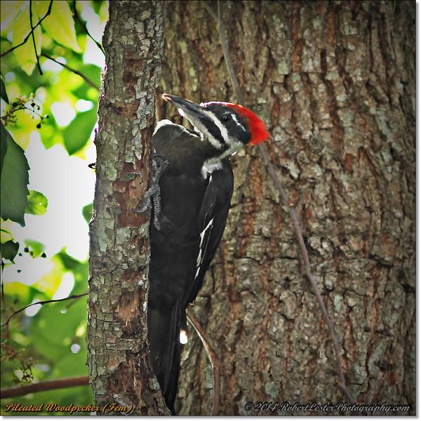2014-06-20_IMG_3872_Pileated Woodpecker (Fem)_