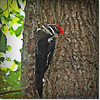 2014-06-20_IMG_3872_Pileated Woodpecker (Fem)_