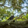 2019-09-13_ 0930 meterspotiso200 Pileated woodpecker_P9130056