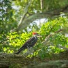 2019-09-13_ 0930 meterspotiso200 Pileated woodpecker__9130065