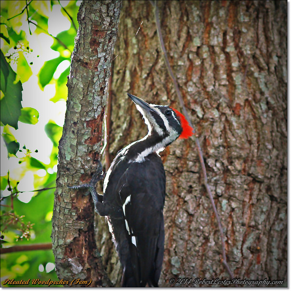 2014-06-20_IMG_3818_Pileated Woodpecker (Fem)_