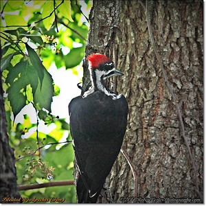 2014-06-20_IMG_3898_Pileated Woodpecker (Fem)_