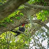 2019-09-13_ 0930 meterspotiso200 Pileated woodpecker__9130018