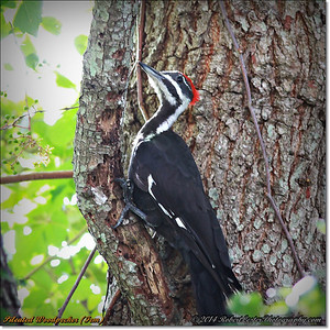 2014-06-20_IMG_3774_Pileated Woodpecker (Fem)_