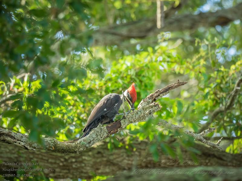 2019-09-13_ 0930 meterspotiso200 Pileated woodpecker__9130070