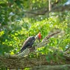 2019-09-13_ 0930 meterspotiso200 Pileated woodpecker__9130070