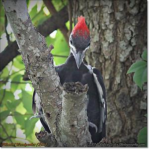2014-06-20_IMG_3930_Pileated Woodpecker (Fem)_