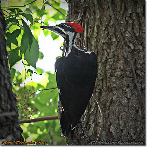 2014-06-20_IMG_3894_Pileated Woodpecker (Fem)_