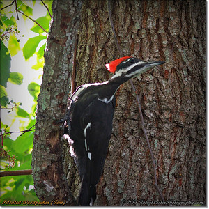2014-06-20_IMG_3789_Pileated Woodpecker (Fem)_
