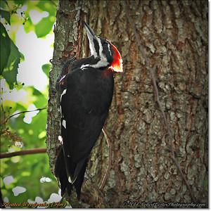 2014-06-20_IMG_3881_Pileated Woodpecker (Fem)_